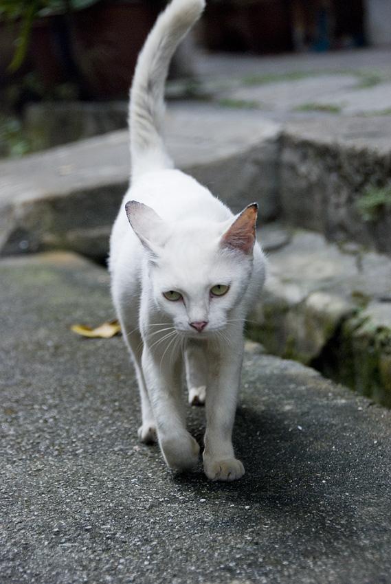 Ipoh cat