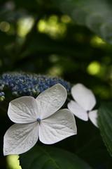 BUNKYO AJISAIMATSURI (reforestreforest) Tags: flower macro canon eos kiss sigma ajisai x2 1770mm f2845 ajisaimatsuri