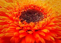 Ignite the Fire Within (Jenn (ovaunda)) Tags: orange sony dsch5 jennovaunda ovaunda