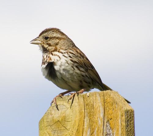 song sparrow_2