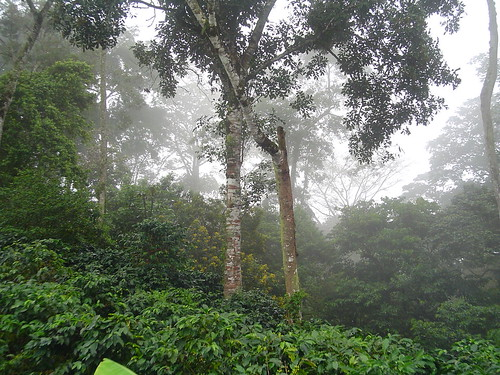 Shade grown coffee bushes in the cloud forest