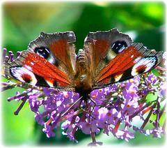 vanessa io (perplesso42) Tags: flowers vanessa butterflies io fiori soe farfalle inachisio beautifulphoto vanessaio vosplusbellesphotos