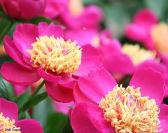 Peonies (lynne_b) Tags: park pink flower nature illinois blossom peony fragrant bloom perennial lombardillinois