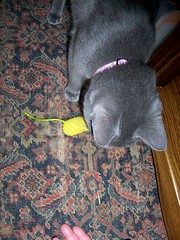 Fetching (k8southern) Tags: cats plum bluecat graycat