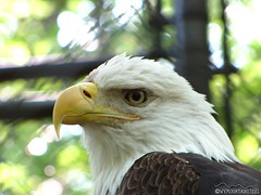 French Creek Game Farm - Bald Eagle (MountainSteel Photography) Tags: eagle baldeagle wv westvirginia frenchcreek frenchcreekgamefarm canonpowershotsx10is