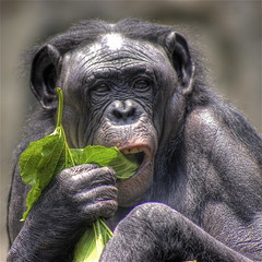 Female Bonobo