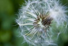 Dandelion seed parachutes (perminna) Tags: flower macro dandelion nikkor extensiontube kenko kenko12mm 1855mmf3556gvr