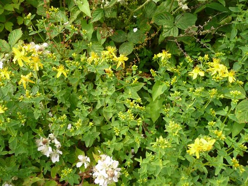 small-st.johns-wort-post-coed-hedgerow-27.6.09-no4