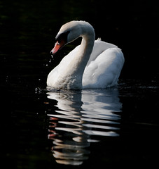 Ripples (Steve-h) Tags: ireland dublin reflection bird nature beautiful swan niceshot harmony musictomyeyes bushypark bellissima steveh hiddentreasure mywinners mywinner flickraward canoneos500d exemplaryshots diamondstars artistsoftheyear platinumheartaward flickridol shiningstar flickrestrellas peaceawards thebestshot spiritofphotography highqualityimages beautifulshot damniwishidtakenthat grouptripod thelightpainterssociety platinumandgolddoubledragonawards doubledragonawards brilliantphotography goldenart artofimages angelawards platinumheartawardhalloffame goldenpicturesworth1000words bestofdamniwishidtakenthat platinumpeaceaward universeofnature doublyniceshot bestofbeautiful theauthorsplaza bestpeopleschoice tripleniceshot flickraward5 mygearandme mygearandmepremium mygearandmebronze mygearandmesilver mygearandmegold mygearandmeplatinum mygearandmediamond canonef70200mmf28lisiiusm