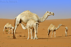 Time to drink milk (TARIQ-M) Tags: texture landscape milk sand waves desert dunes camel camels riyadh saudiarabia             canon400d         canonefs18200mmf3556is