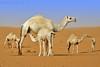 Time to drink milk (TARIQ-M) Tags: texture landscape milk sand waves desert dunes camel camels riyadh saudiarabia الصحراء جمال الرياض حليب صحراء رمال جمل ابل رمل طعس نياق المملكةالعربيةالسعودية canon400d الرمل ناقة خطوط نفود الرمال كثبان خلفات تموجات canonefs18200mmf3556is تموج نفد حليبخلفات
