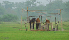 Bored horses (gadgetdan) Tags: china guilin yangshuo guanxi flickrtobeuploaded