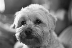 Dizzy McDizzerson (Derek K. Miller) Tags: blackandwhite bw film puppy fave xp2 poodle burnaby dizzy maltese agfa 2008 dizzle maltepoo multipoo podcastpuppy 2009fave agfaxp2