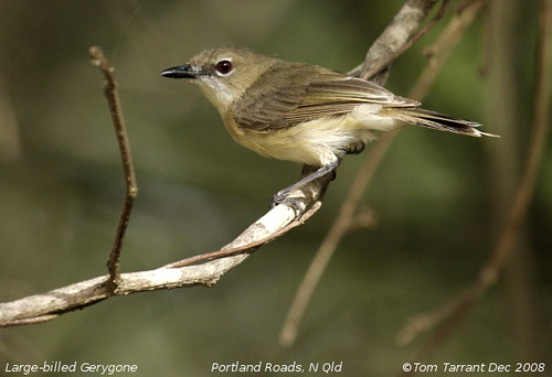 Large-billed Gerygone (Gerygone magnirostris) by aviceda.