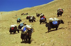 Descending Lamma La ,Tibet (reurinkjan) Tags: 2002 yak nikon tibet everest dri herdsman tingri jomolangma tibetanlandscape lammala janreurink phyugsrdzi norrdzi བོད། བོད་ལྗོངས།