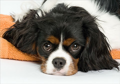 Chester (5) (Piotr Organa) Tags: portrait dog pet toronto canada cute face animal puppy king charles spaniel cavalier flickrlovers