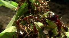 Swarm, Nature's Incredible Invasions   Part 2  (11th January 2009) [HDTV 720p (x264)] preview 11