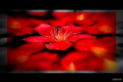 Red for a flower (saternal) Tags: flower macro saternal goldstaraward