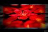 Red for a flower (saternal) Tags: flower macro saternal goldstaraward