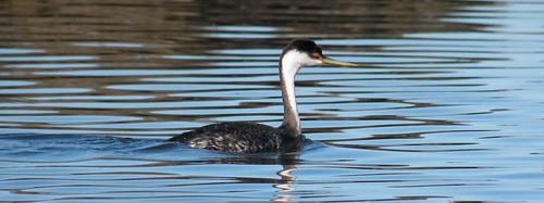 birdswimsright