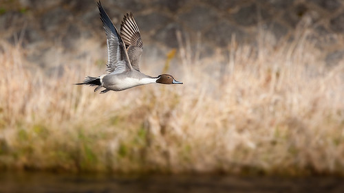 20090125-pintail duck4