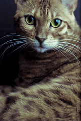 Atticus (seanmcgrath) Tags: cactus pet pets slr animal closeup cat 50mm nikon kitten flash kitty style gear places things nb newbrunswick wireless nikkor f18 bengal kv strobe atticus lightroom 50mmf18 preset 10mp presets triggers d80 nbphoto quispamsis strobist vivitar285hv lightroompresets minoredits