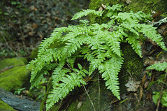 Lush (StaceyDePhoto) Tags: california tree wet leaves rain forest moss spring heaven danville ferns twigs lostrampas