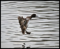 Lesser Scaup(f) - in for a landing (Christopher Mark Perez) Tags: crystalsprings birdinflight ducklanding
