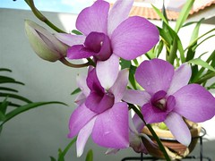 Raindrops #16 (ighosts) Tags: flowers flower rain yellow garden purple orchids malaysia raindrops klang mywinners