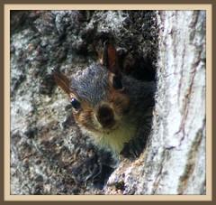 Looking Around (mightyquinninwky) Tags: fauna flora squirrel nest lexingtonkentucky bark urbannature knothole fontaineroad fayettecountykentucky kentuckyflora kentuckyfauna