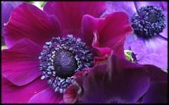 flowers_anemones