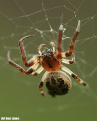 Larinioides cornutus (avibenzaken) Tags: male spider orb porch weaver marbled  arthropod furrow araneae isral aranya spinnekop araneidae  cornutus foliate larinioides       iosrael damhanallaidh solifuga   larionides  tt