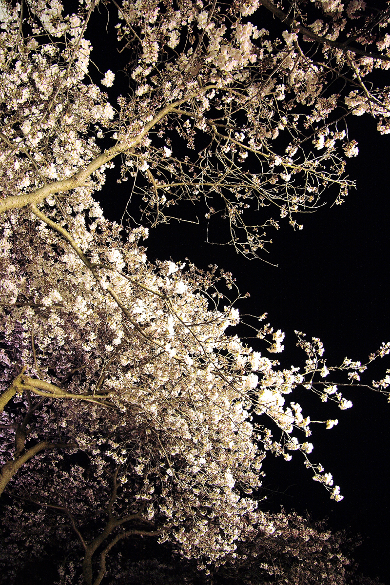The cherry blossoms in Sankeien 2