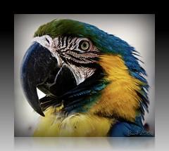 IMG_2780 (ibarra_svd) Tags: pet bird colors animals canon asia philippines vigan canondslr picnik pilipinas baluarte canondigitalcamera asianbirds viganilocossur teampilipinas canoneos450d philippinebirds worldtrekker canondigitalrebelxsi