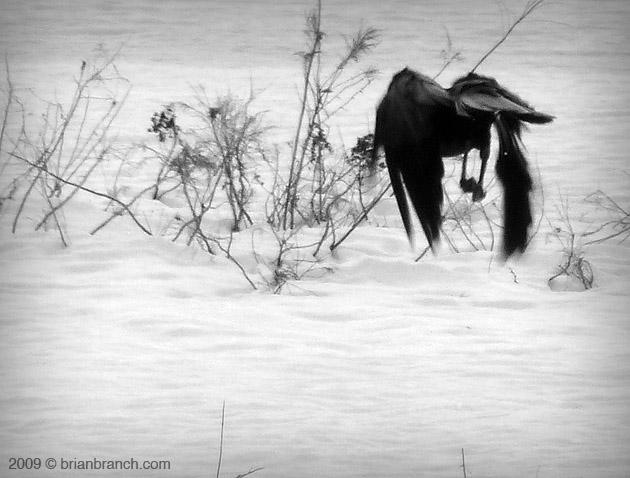 P1000377_crow