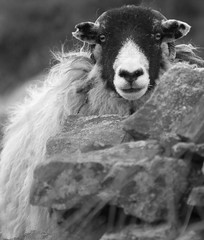 Portrait of a Sheep (Buster Bakewell) Tags: blackandwhite nikon sheep derbyshire peakdistrict nikkor 135mmf28ais d80