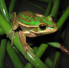 Litoria aurea (Daniel O'Brien) Tags: australia amphibian frog newsouthwales sydneyolympicpark aurea anura amphibia litoria litoriaaurea anuran greenandgoldenbellfrog wildlifeofaustralia reptilesandamphibiansshowcase bellfrog danielobrien greenandgoldenswampfrog