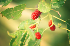 (M ï M ï) Tags: red 3 green garden one focus you sony some it toot a300 a7ba البشر يموت الشوق توت عليك بخافقي