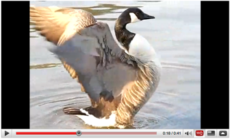 Slow motion Casio FC100 movie clip of a Canadian goose flapping its wings