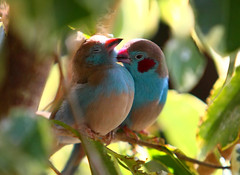 Birds in Love :) (jessi.bryan) Tags: cute bird love kiss adorable grooming aviary courtship redcheekedcordonbleu niagarafallsaviary colorphotoaward platinumheartaward secretlifeofbirds slbcourtship thewonderfulworldofbirds