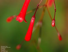 Firecracker, Fountain Plant (Russelia equisetiformis) (Carolinensis) Tags: flower nature ©allrightsreserved russeliaequisetiformis firecrackerplant fountainplant nikond80 nikkor105mmvr