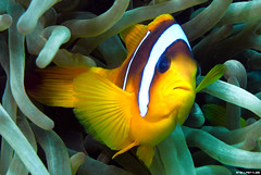 Ridi, Pagliaccio! (StellaStyles) Tags: sea fish uw mare underwater nemo redsea dive egypt sealife clownfish anemone scubadiving reef egitto pesce pagliaccio subacquea marrosso pescepagliaccio