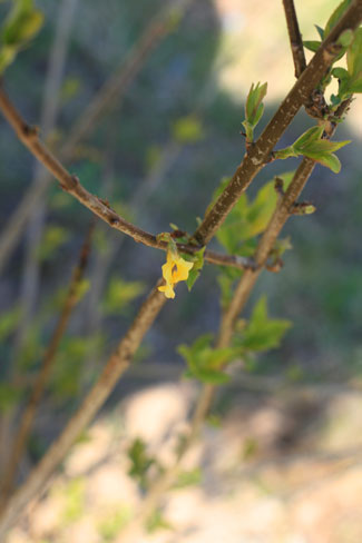 Forsythia budding