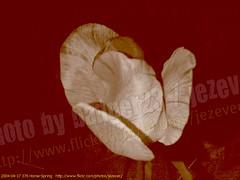 Tulipa ( Tulip ) 2004-04-17 376 Home-Spring (Badger 23 / jezevec) Tags: flower 2004 fleur spring blossom indianapolis flor indiana tulip bloom april  plantae blume fiore tulipa blooming bloem  liliaceae  20040417   liliales jezevec  kvt angiosperms monocots vbr  wabigon badger23 lilioideae