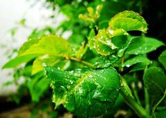 green Bulk ( ) (Nasser Hasani) Tags: plant flower green water rain leaf  dropping