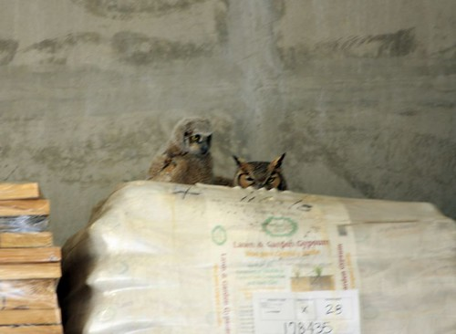 Owl and Chick at Home Depot