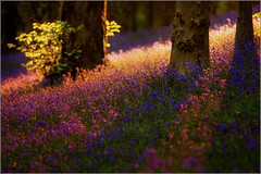 Shadows and Light - A Woodland Scene (andrewwdavies) Tags: flowers trees sunset mountain bluebells wales backlight forest woodland fun carpet 1 evening woods flash tripod cymru cardiff experiment fake explore caerdydd ambient remote balance backlit create gel picks strobe caerphilly cto wenallt mynydd rimlight caerffili interestingnesspage offcameraflash explored pocketwizard hyacinthoidesnonscripta rhiwbina canonef70200mmf28lisusm strobist plusii canoneos40d canonspeedlite580exii colourtemperatureorange andrewwilliamdavies coedywenallt gettyartistpicksaugsep091