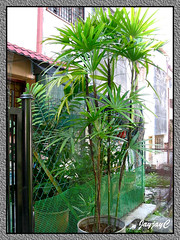 Step 5: Rhapis excelsa (Lady Palms) replanted. They are thriving well in a cylindrical metal container, a month after being shaved and replanted, shot May 8 2009