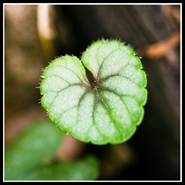 Heart Leaf.3