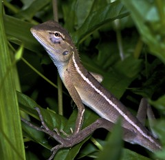 IMG_0349 (2) (Troup1) Tags: macro nature reptile lizard eliteimages
